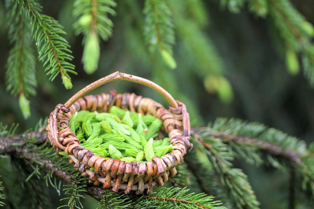 spruce tips in basket